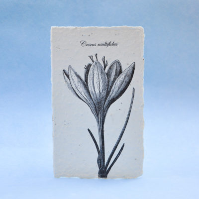 Crocus Multifidus postcard seedcard